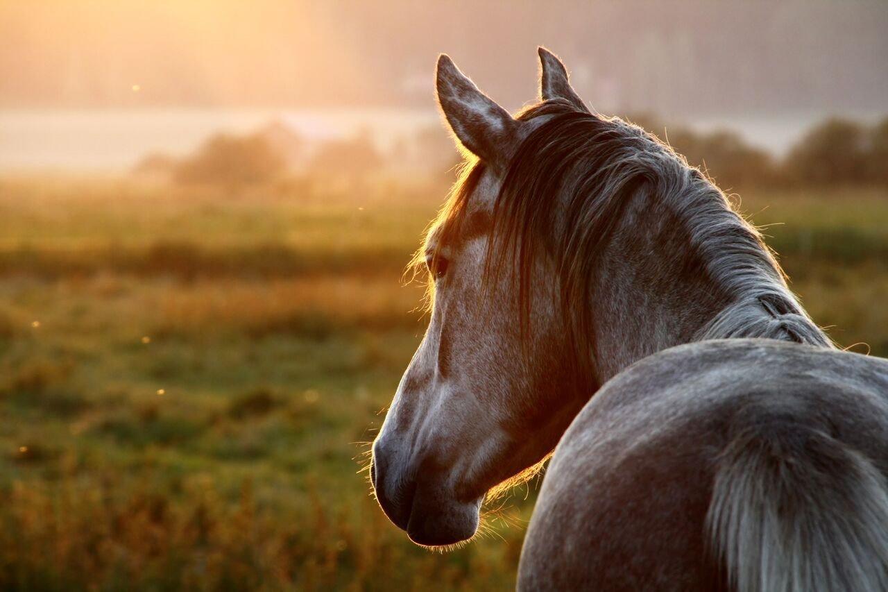 Equine74Gastric-Pferdekopf-Sonnenuntergang