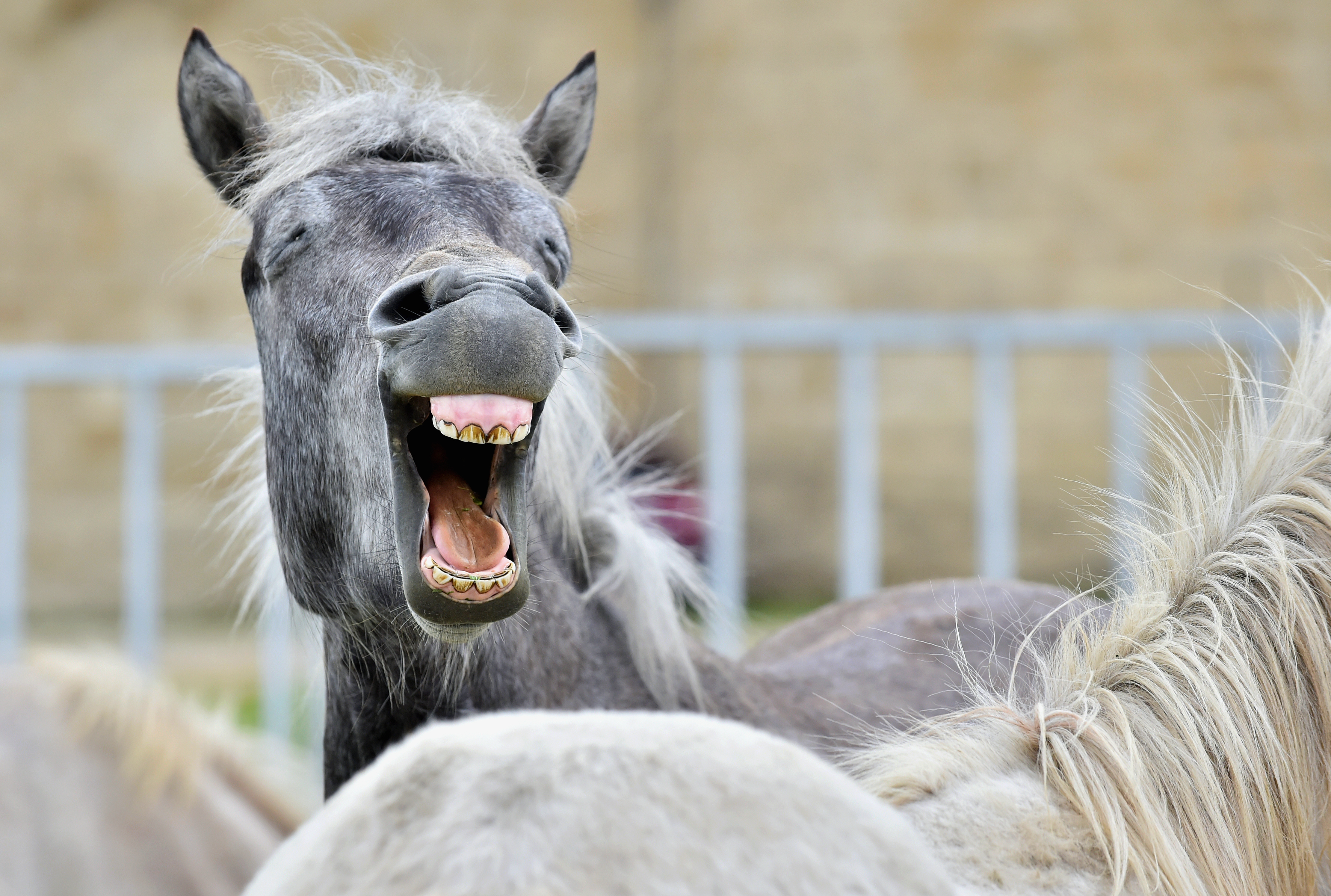 Gähnen_Symptom_Magengeschwuer_Pferd