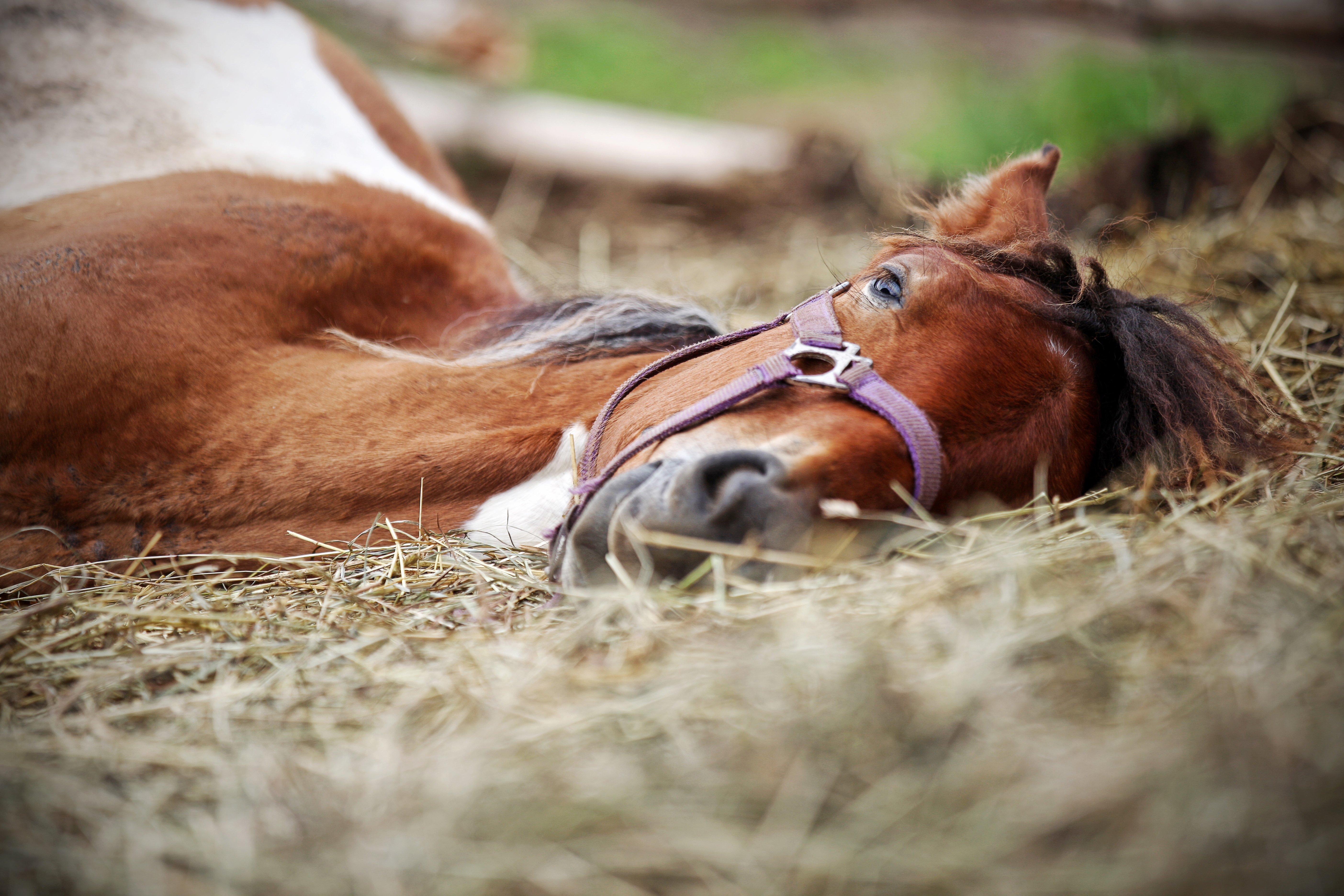 Kolik_Symptom_Magengeschwuer_Pferd