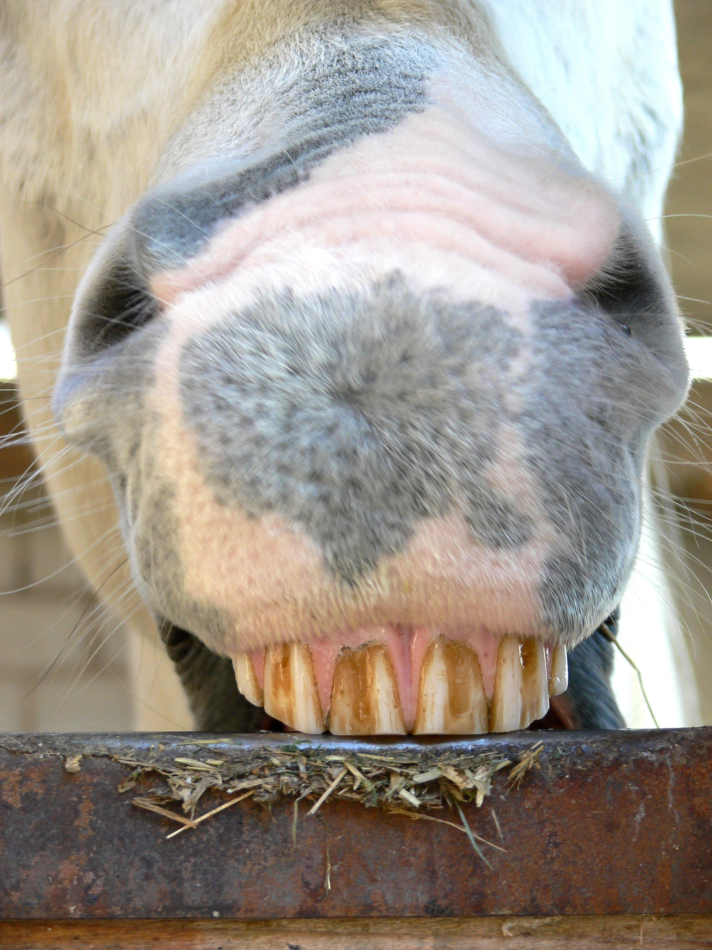 Koppen_Symptom_Magengeschwuer_Pferd